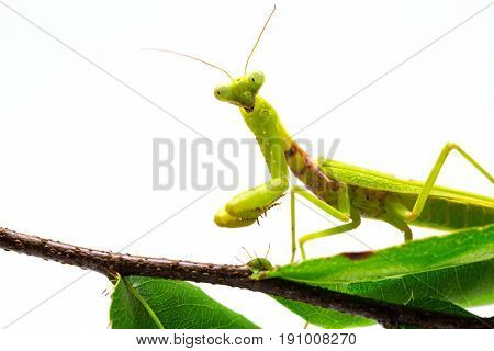 Mantis on green leaf on white background. Green mantis on tree branch. Soothsayer or mantis closeup. Tropical green insect. Grass green Mantodea. Exotic nature species banner template with text place