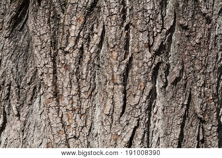 Summer. Sunny day. In the frame a fragment of the bark of a large tree is poplar