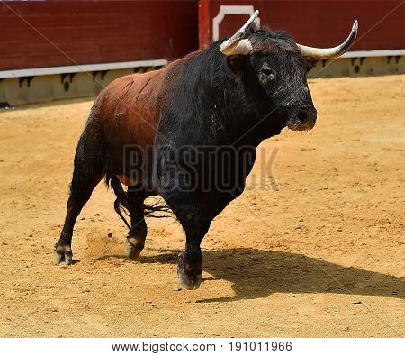 bull spanish in bullring with big horns