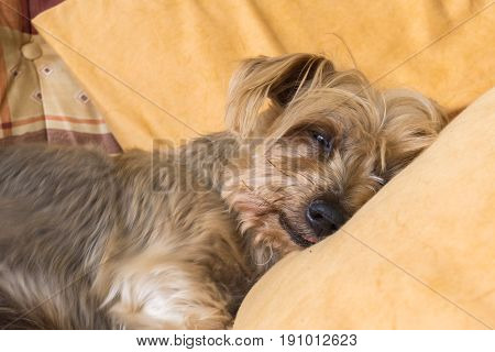 Cute Doggy Sleeping warm soundly with his head on a pillow. Yorkshire Terrier brown doggie