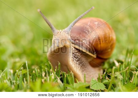 Roman Snail - Helix pomatia. Helix pomatia common names the Roman snail Burgundy snail edible snail or escargot is a species of large edible air-breathing land snail a terrestrial pulmonate gastropod mollusk in the family Helicidae.