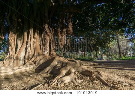 Aerial roots Banyan tree Ficus benghalensis. Old tree roots simulating a hand Jardines del Real, Walk in-between trees Viveros Valencia, near old dry riverbed of the River Turia