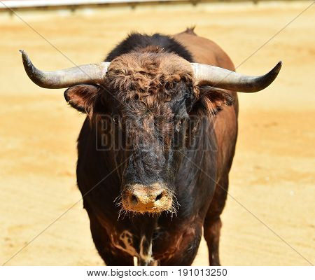 spanish bull in spain with big antlers