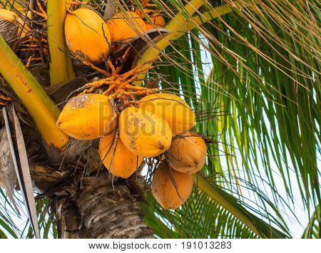Yellow coconut on palm tree. Golden Malayan Dwarf palm tree. Golden coconut closeup. Botanical garden in Florida. Orange coco fruit. Tropical agriculture. Tropical island plant. Exotic yellow fruit