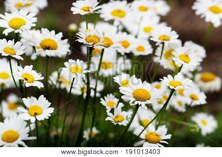 Chamomile field flowers border. Beautiful nature scene with blooming medical chamomilles in sun flare. Summer flowers. Beautiful meadow. Summer background