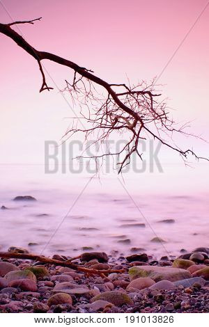 Romantic Morning. Bended Tree Above Sea Level,  Boulders Sticking Out From Smooth Waves. Pink Horizo