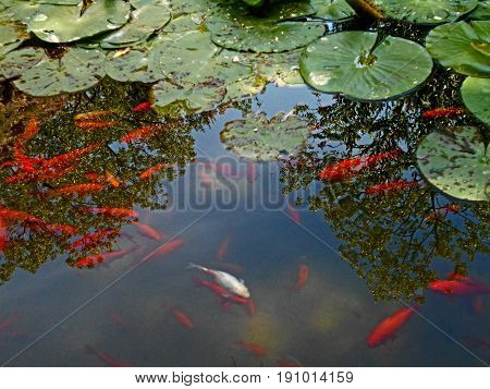 Koi fish, ornamental varieties of domesticated common carp, in the pond with water lilies