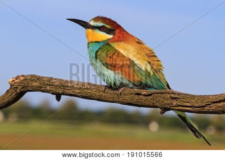 European bee-eater - colored bird, europe nature, bird sitting on a branch