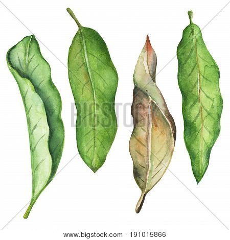 Green leaf of mango watercolor illustration. Leafy clipart on white background. Tropical tree mango foliage fresh and dry. Mango fruit leaf. Natural decor element for summer poster. Exotic garden leaf