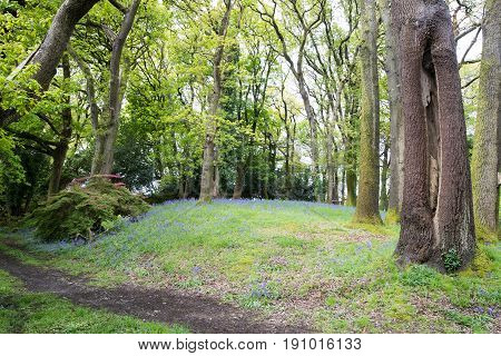 Ancient Woodland With Tall Trees And Bluebells Underneath