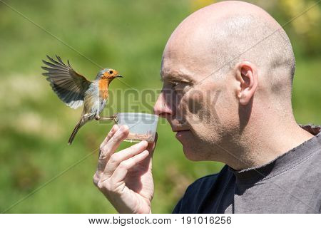 Caucasian man holds pot of mealworms under his nose to feed a wild robin.