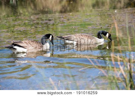 Pair of Canada Geese swimming gracefully on a pond.