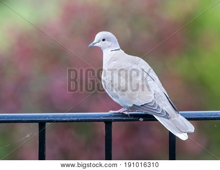 Eurasian Collared Dove Grey Bird Against Red Background