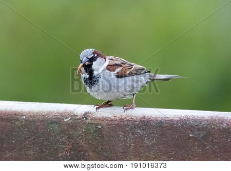 Male House Sparrow With Insect In His Mouth