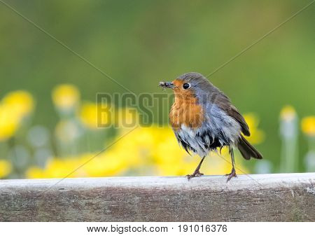 Wet Robin Stands On Fence With Insects In His Mouth