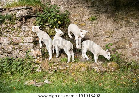 Adventurous Lambs Climbing On A Stone Wall