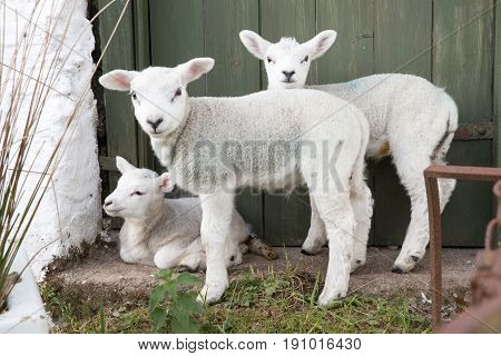 Three Cute Baby Sheep In A Farm Yard