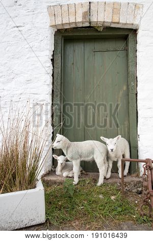 Vertical Shot Of Three Baby Lambs Waiting On A Farm Yard Door Step