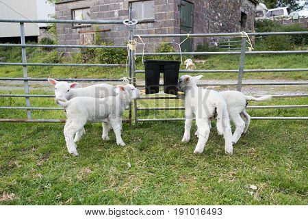 Young lambs feeding themselves from a teat feeder bucket in a field