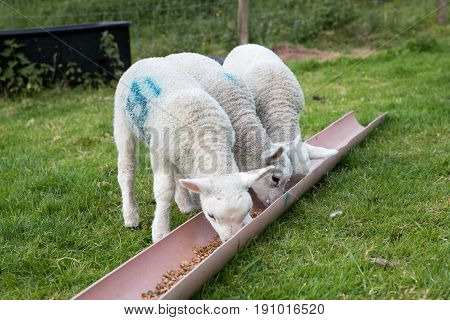 Three Lambs With Their Heads In A Food Trough
