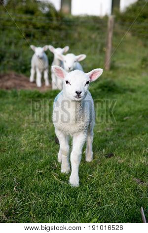 Vertical Shot Of Young Lambs With A Brave One At The Front