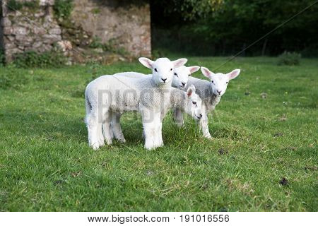 Four Young Lambs Stood Together Ina Field Of Grass