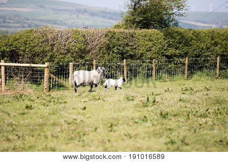 Partially sheared ewe stood in expanse of grass with her lamb beside her watching the camera