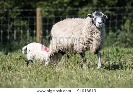 Adult Ewe Sheep With Lamb In A Field