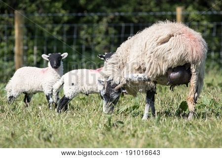 Adult Sheep With Lambs In A Field Scratches Her Head