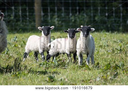 Three Young Lambs Stood In A Field Looking At The Camera