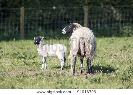 Mother Sheep And Lamb In A Grassy Field