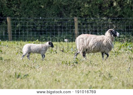 Adult Ewe Sheep Leads Her Lamb Across A Field