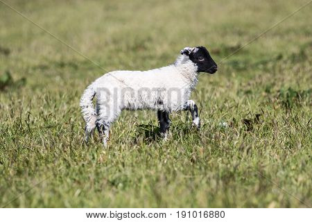 Cute Lambs With Black Heads Play Outside In A Field