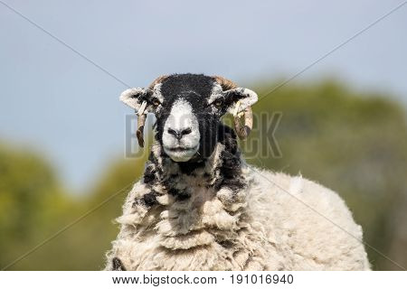 Head Shot Of An Adult Sheep Against Blue Sky