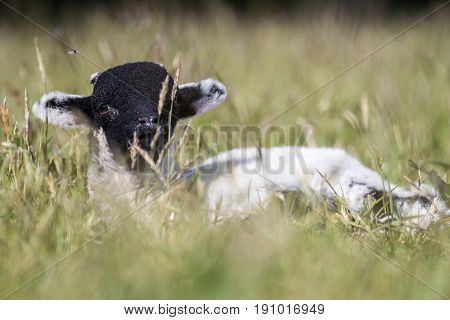 Baby Lamb Laid Down In Long Grass Looking At Camera
