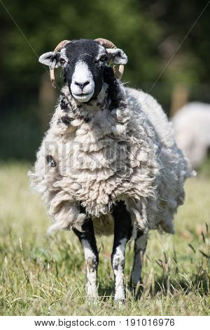 Vertical Shot Of An Adult Sheep Ewe Stood In A Field Looking Straight On At Camera
