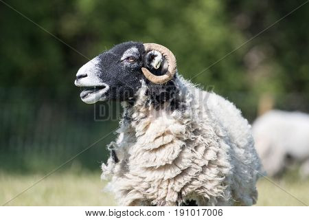Close Up Of An Adult Sheep Baahing With Her Mouth Open