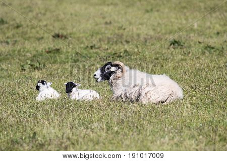 Mother Sheep With Two Lambs In Field Of Grass