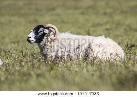Adult Sheep With Black Head And Horns Laid Down In A Grassy Field