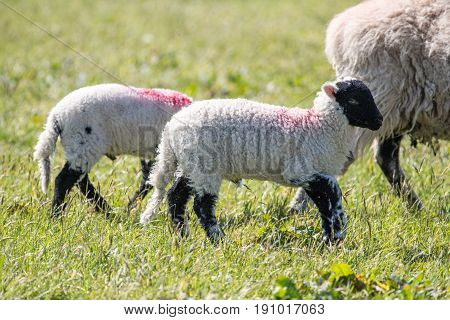 Lambs In A Field Of Grass