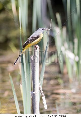 Vertical Shot Of A Grey Wagtail With Insects In His Mouth