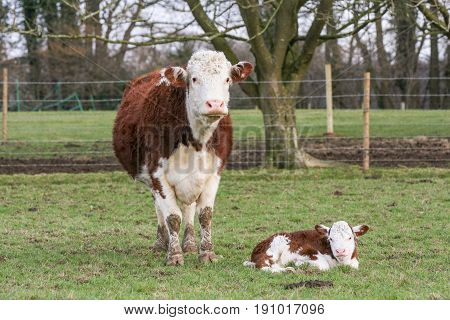 Mother Cow Stood Next To Her Young Calf In A Field On A British Farm