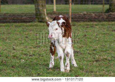 Young Calf Stood In A Field On A British Farm