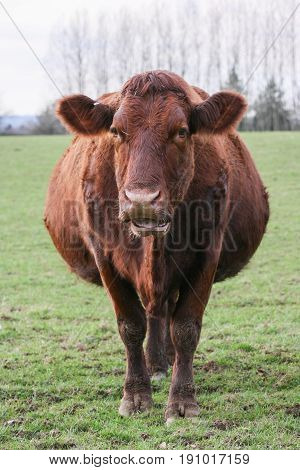 Heavily Pregnant Brown Cow Stood In A Field On A British Farm