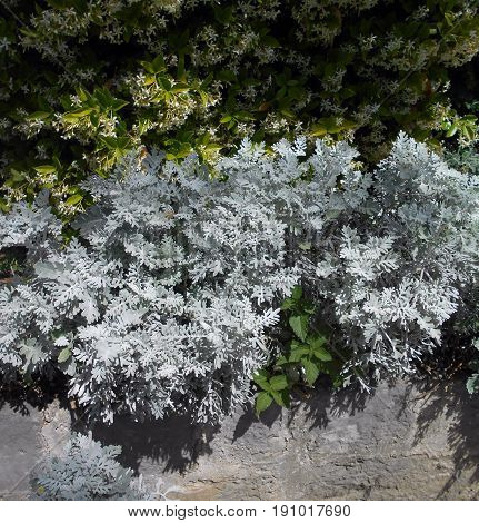 Star jasmine and a bunch of silver ragwort above the retaining wall