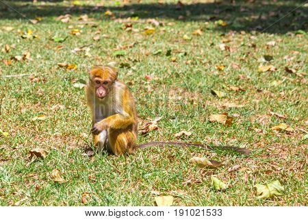 Monkey in tropical fauna on Ceylon, young macaque