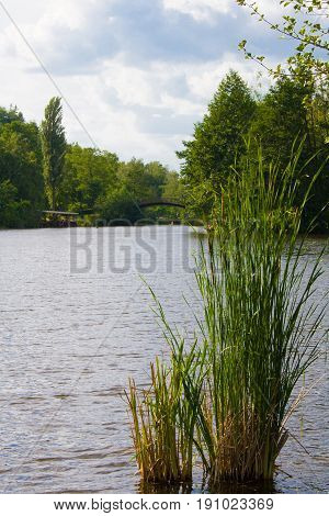 The lake and the bulrush in park in summer. Bridge in the background. Mezhyhiria Ukraine
