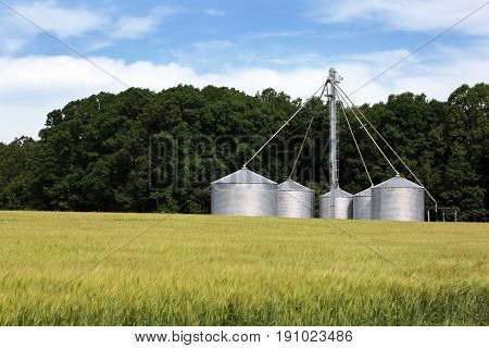 Agricultural field of winter wheat grows by grain storage siloes on a farm.