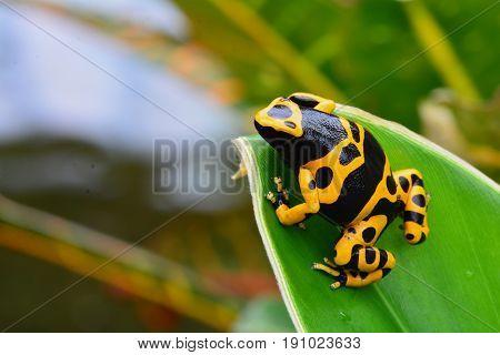 Poison dart frog sitting on a plant leaf