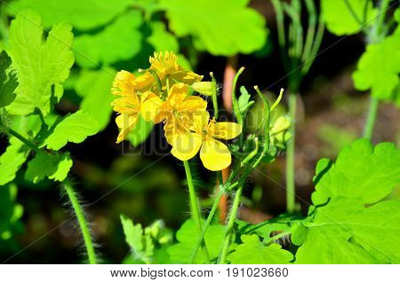 Yellow flowers of celandine on a background of green leaves.